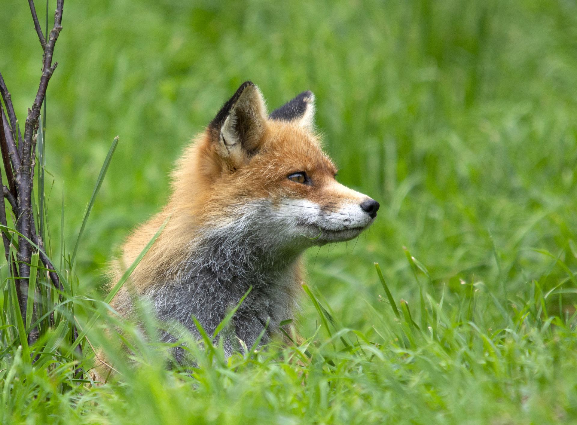 Líšky prenášajú určité parazity aj na nás