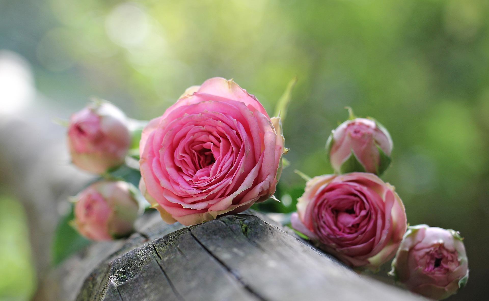 Ruža dokáže aj pomáhať